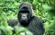 Mountain Gorilla in Volcanoes-Rwanda